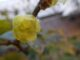 蝋梅が咲き始めました