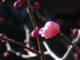 梅が咲き始めました