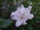 庭の花-8月
